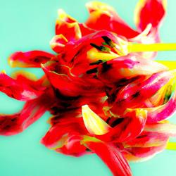 Uitgebloeide tulp bewerkt als kunstwerk (2)