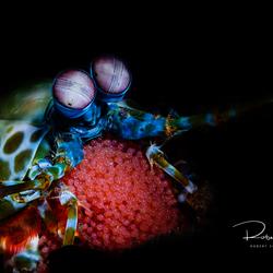 Peacock mantis shrimp met eitjes