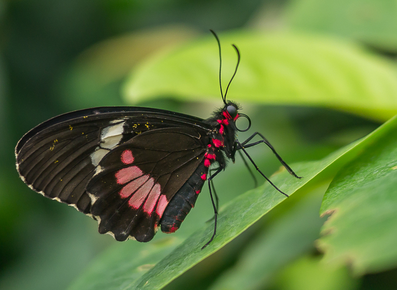 Vlinder Pink Cattleheart (Parides Iphidamas) - Nog een vlindertje uit de vlindertuin van Artis.<br /> <br /> F 1.7<br /> ISO 160<br /> 1/200<br />