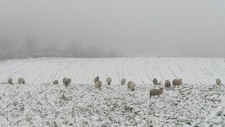 Sneeuw, schapen en mist - Al rijdend met de auto door het Zuid-Limburgse Heuvellandschap, moest ik  stoppen voor het aanschouwen van dit prachtige win