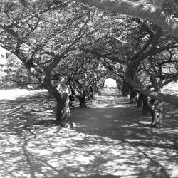 Bomenlaan Rhodos
