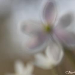 Vleugje roze