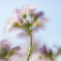 Pinksterbloempjes bewogen door de wind.....