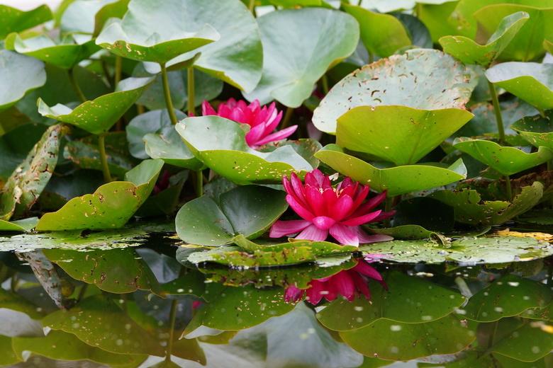 Waterlellies - Waterlelies met spiegeling in het water. Bedankt voor de reacties op mijn vorige upload.