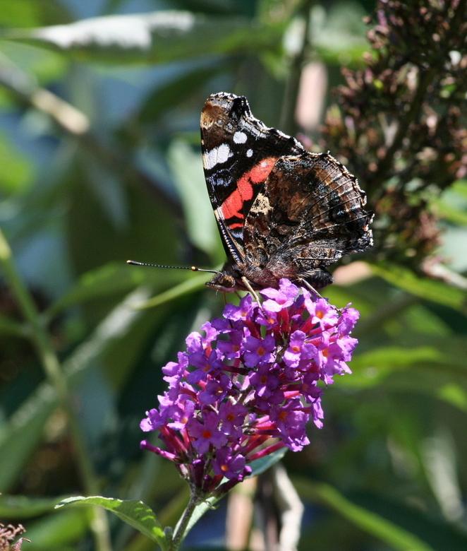 vlinder - Ben de naam even kwijt van deze vlinder.