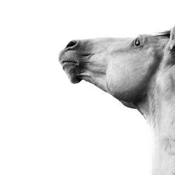Berber stallion