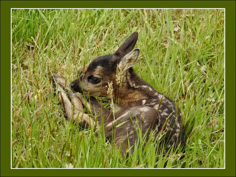 Bambi - Dit lieve ree kalfje was in de modder van een sloot terecht gekomen. Passanten hebben hem met behulp van nordicwalking stokken op het droge ku