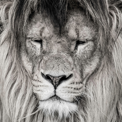 Lion Fine Art