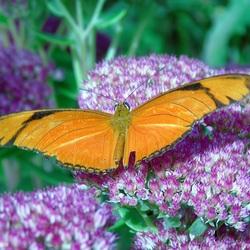 Oranje passiebloemvlinder (Dryas julia)