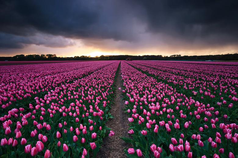 Tulpenvelden, Nederland