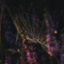 Spinnenweb in de heide