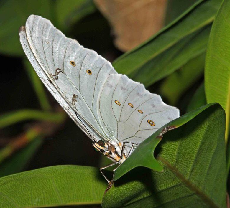 tropisch wit - De blauwe morpho wordt in veel vlindertuinen gehouden. Die soort heeft op de onderzijde van de vleugels een goede schutkleur. De witte