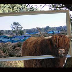 Schotse hooglander in de kunst