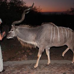 Kudu in de tuin