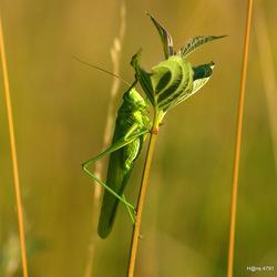 Groene rakker