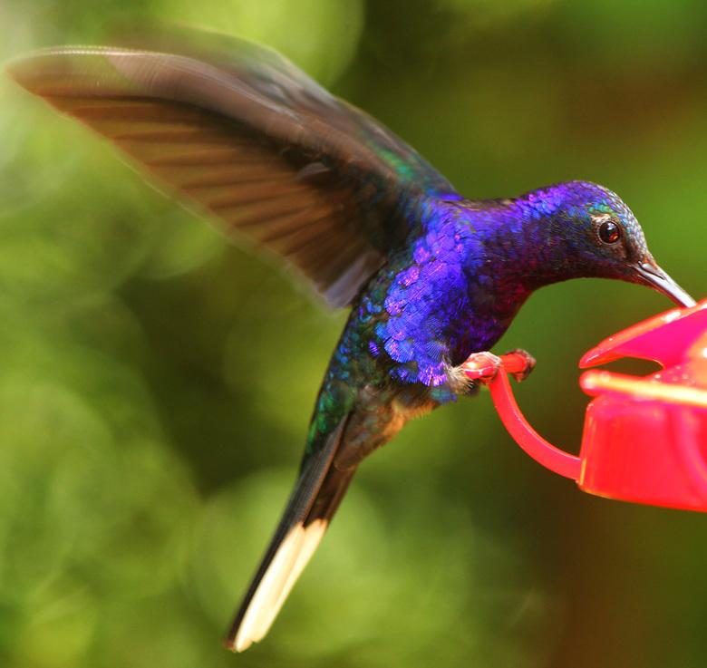 Humming bird 2 - Toch lastig om deze snelle vogels te fotograferen.