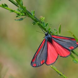 Sint-Jacobs vlinder.
