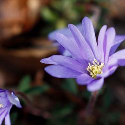 Paars bloempje