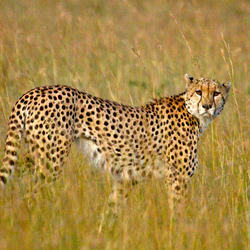 Kenia-Cheeta