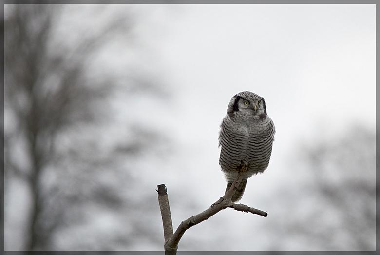 Sperweruil - Tja , daar kun je wel uren van genieten .<br /> Wat een moment .onvergetelijk ..<br /> <br /> ter info :<br /> Een vogelaar heeft nab