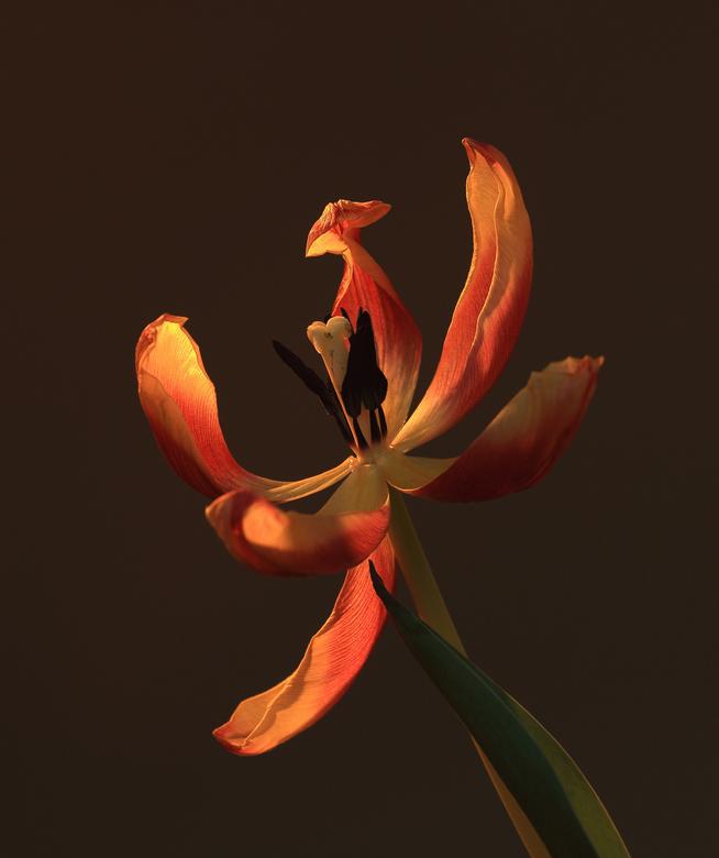 uitgebloeid - uitgebloeide tulp