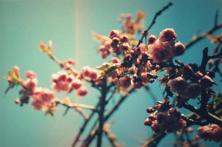 Pink flowers - Deze foto is gemaakt met een Canon A-1 analoge camera.