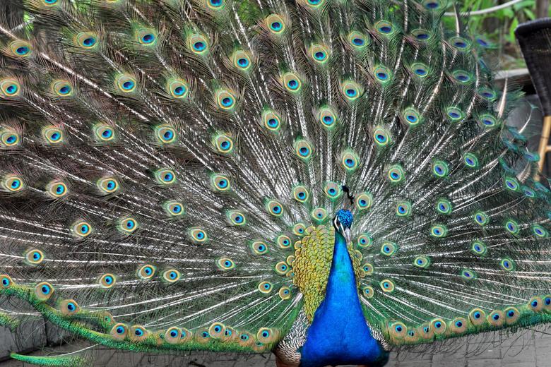 I'am beautiful  - Deze pauw laat draag even zien hoe mooi die is.