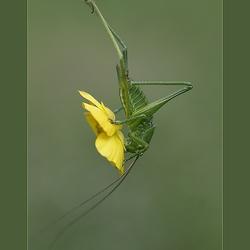 Butter Springer *
