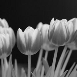 zwarte tulpen??