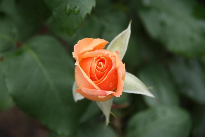 Maria McGrady Roos Pink - 1 van de rozen in onze tuin waar mijn vrouw zo van houd.
