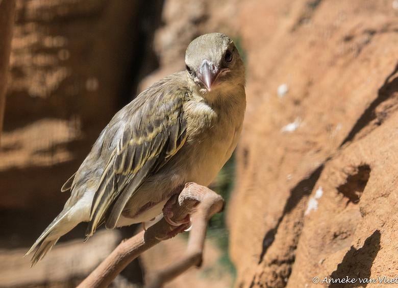 Grote textorwever (Ploceus cucullatus) - De grote textorwever leeft voornamelijk in West-en Midden Afrika ten zuiden van de Sahara in bosachtige savan