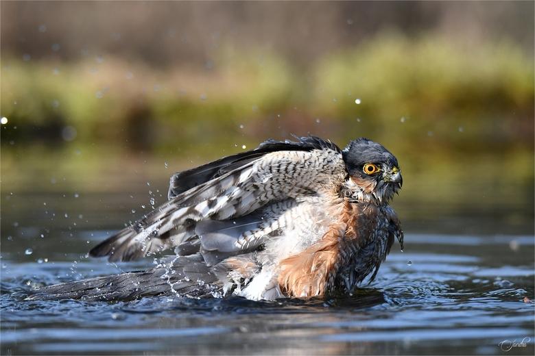 Genieten! - En daar was hij dan.... Wat een indrukwekkende vogel, de sperwer! Hij had van mij wel uren mogen badderen, wat een geweldig gezicht en pra