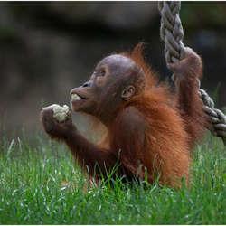 Baby orang outang