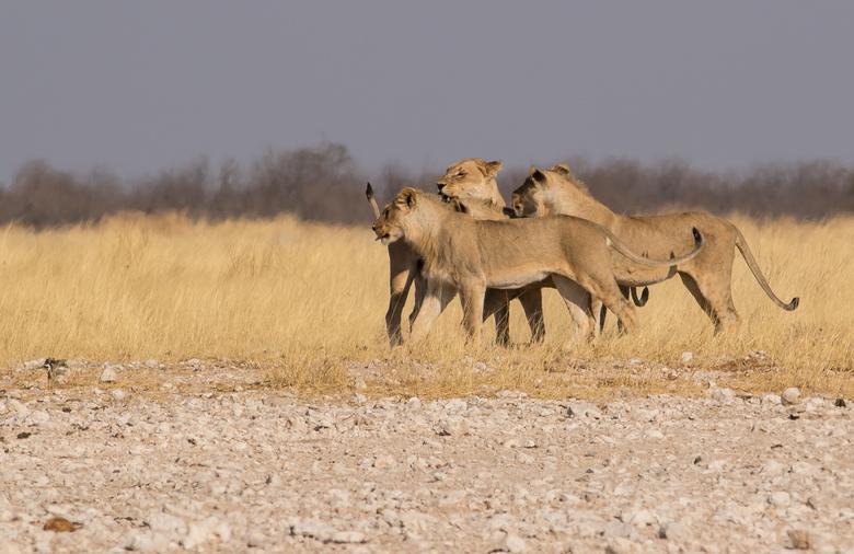Begroeting - Deze foto is gemaakt in Etosha NP Namibie. Leeuwin begroet haar drie zonen