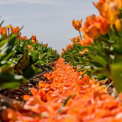 Oranje tapijt