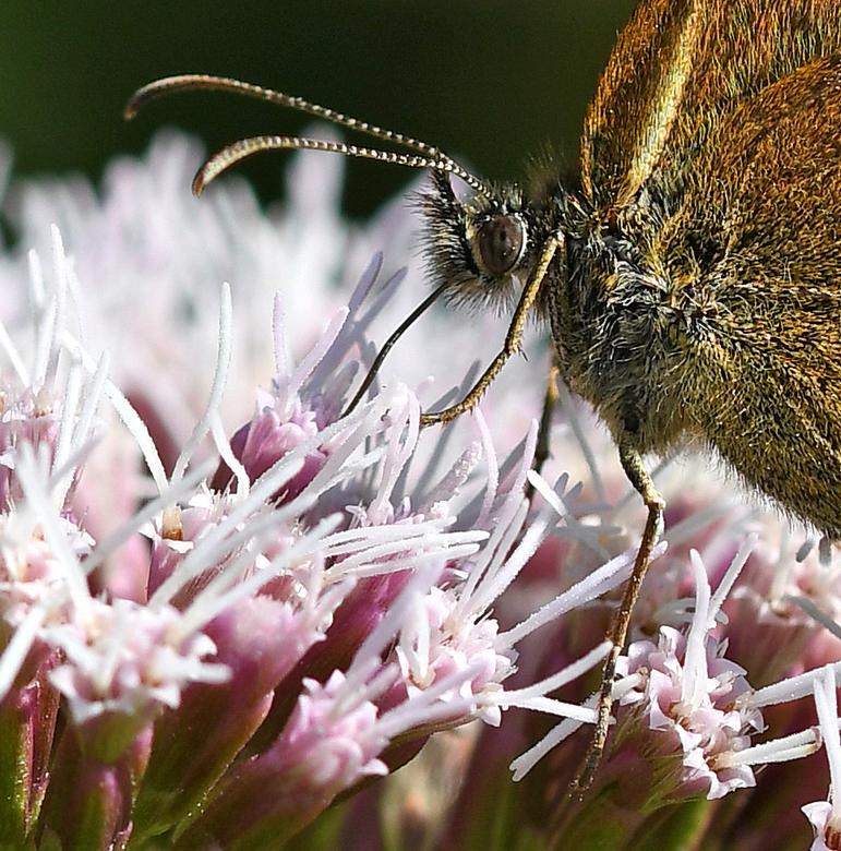overvloed #2 - De bloemen van koninginnenkruid kruid worden zowel door bijen als door zweefvliegen en vlinders intensief bezocht. En de roze bloemen k