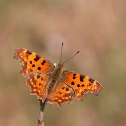 Eerste vlinderfoto 2012