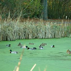 Watervogels op bevroren kroos. Foto 3