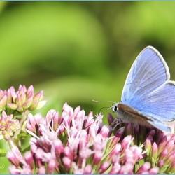 Een verrassing, Icarusblauwtje