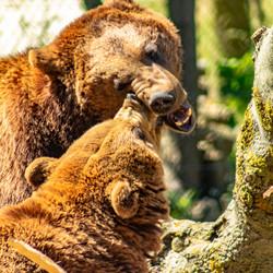 Zag 2 beren....