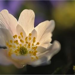 Anemone nemorosa in the spotlight