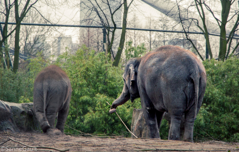 Olifant met een tak - Deze olifant zat heel erg vrolijk te spelen met de tak. Erg leuk gezicht.