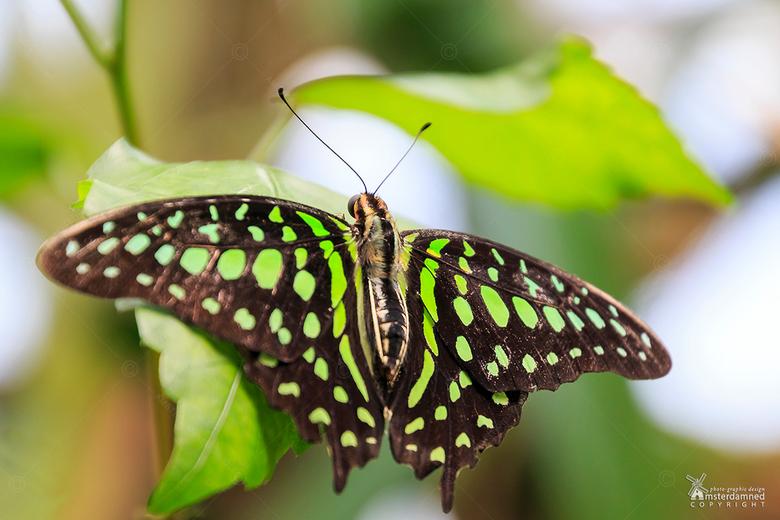 Graphium Agamemnon - Deze page vlinder (Graphium Agamemnon) is gefotografeerd bij Vlinders aan de Vliet in Leidschendam