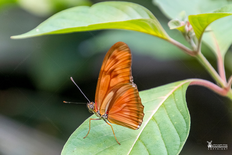 Vlinders aan de Vliet - De oranje passiebloemvlinder (Dryas iulia) bij Vlinders aan de Vliet in Leidschendam.<br /> <br /> De vlinder heeft een span