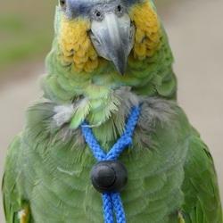 Venezuela Amazone Gizmo bij papegaaienwandeling Barneveld, 7-5-2017.