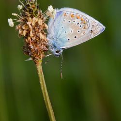 Icarusblauwtje, opwarmen in de zon.