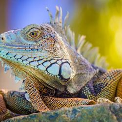 Green Iguana Aruba