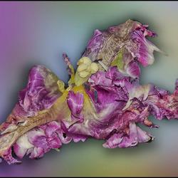 schoonheid tulp in verval..............