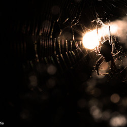 Kruisspin bij zonsondergang
