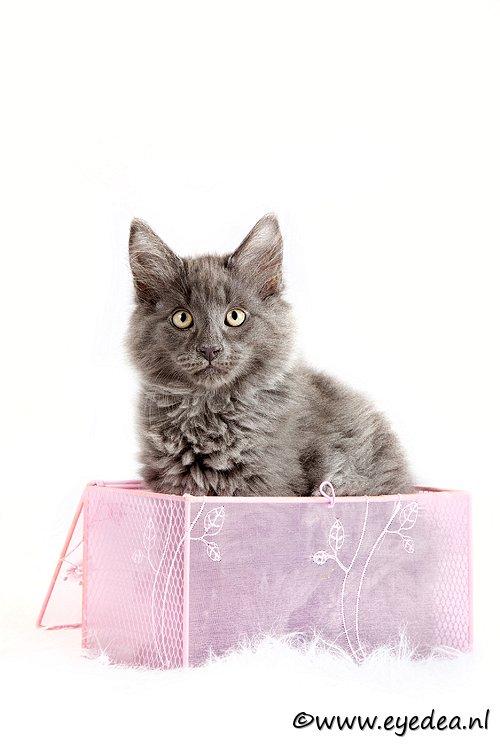 Duvel in een doosje - Een shoot met een stel Noorse boskatten. Erg leuk om te doen. Hier een van de 4 kittens. Ze werkten alle 4 erg lief mee.